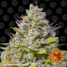 Load image into Gallery viewer, Blue Gelato 41 - Barney's Farm🚺
