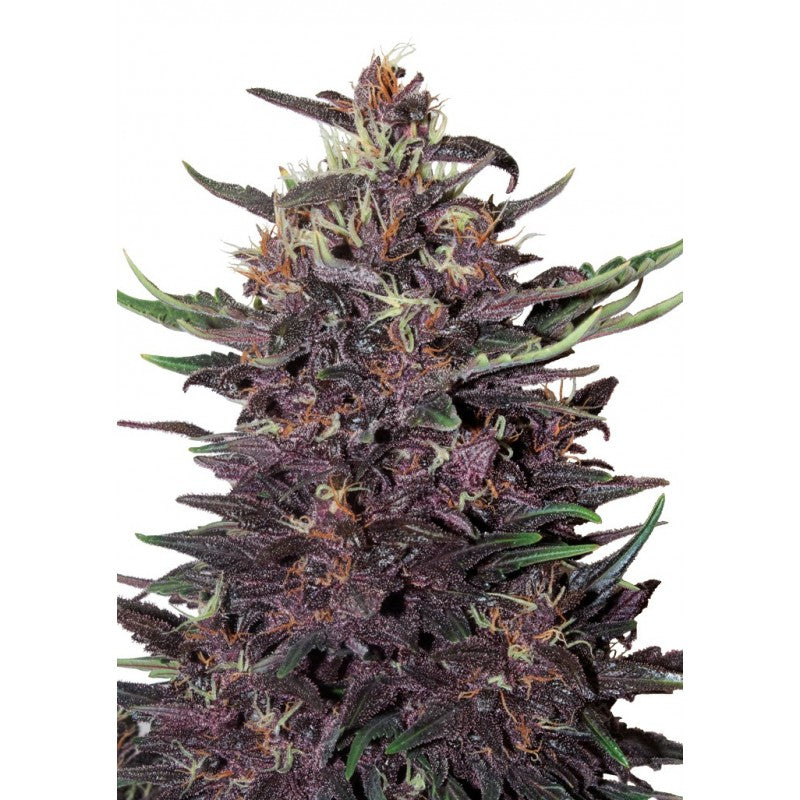 Purple Kush Auto - Buddha Seeds🚺