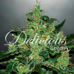 Critical Jack Herer Auto - Delicious Seeds🚺
