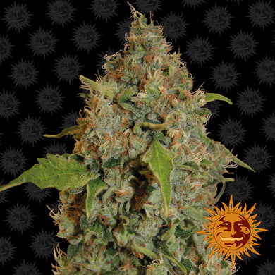 Chronic Thunder - Barney's Farm🚺