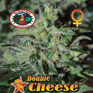 Double Cheese -  Big Buddha Seeds🚺