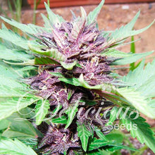 Load image into Gallery viewer, Dark Purple Auto - Delicious Seeds🚺