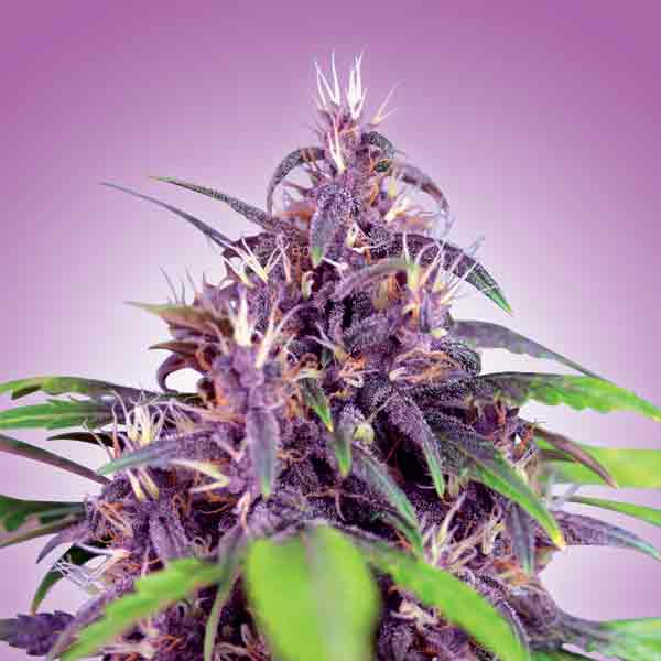 Purple Express Auto - Freedom Seeds 🚺