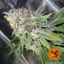 Load image into Gallery viewer, Cookies Kush - Barney's Farm🚺