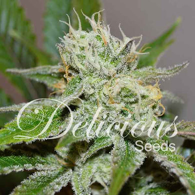 Original Juan Herer - Delicious Seeds🚺