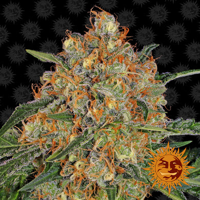 Orange Sherbert - Barney's farm🚺