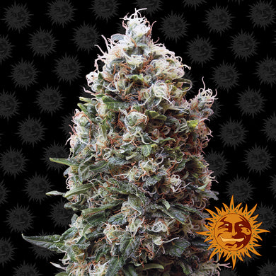 Phatt Fruity - Barney's Farm🚺