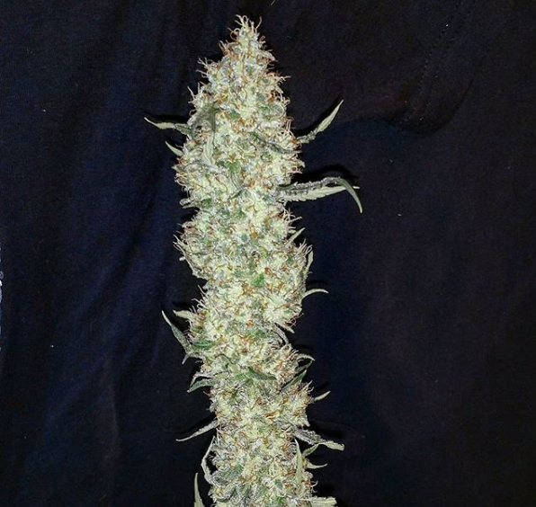 PineBomb - Dominion Seed Co 🚻