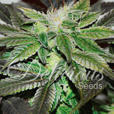 Sugar Candy - Delicious Seeds🚺