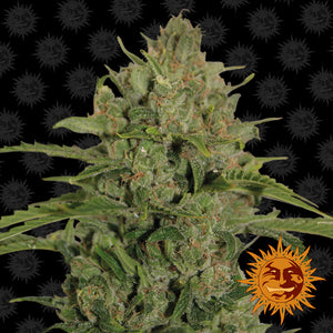 Triple Cheese - Barney's Farm🚺
