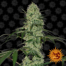 Load image into Gallery viewer, Tangerine Dream Auto - Barney's farm🚺
