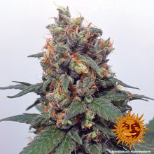 Load image into Gallery viewer, Vanilla Kush - Barney's Farm🚺