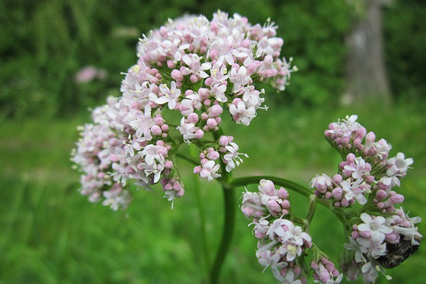 not sleeping with neck back or hip pain natural remedies to sleep with pain blooming valerian flower pink blossoms in field with trees in the blurred background close up