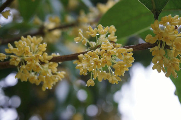 what is osmanthus osmanthus essential oil benefits uses how its made blooming flower on branch close up with tree in background blurred dew on yellow petals