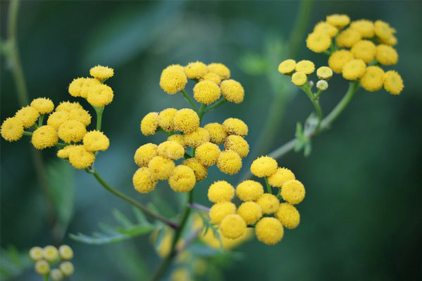 helichrysum essential oil benefits and uses blooming helichrysum flower close up with green leaves blurred in the background