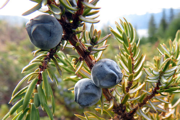 juniper berry uses benefits what are juniper berries ripe juniper berries still attached to the branch in the forest close up