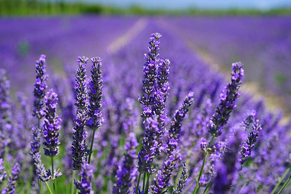 missing an oil essential oil substitutes substitution chart close up of lavender flowers in a lavender field essential oil for relaxation
