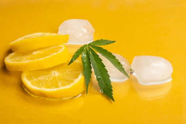 what are terpenes in cbd marijuana leaf sitting on lemon slices and ice on a yellow background limonene