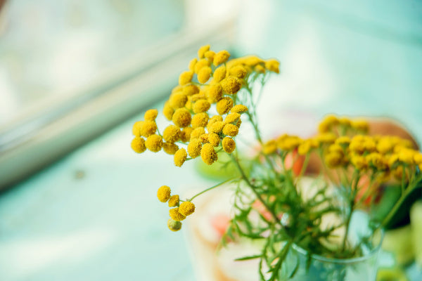 what is blue tansy essential oil benefits uses close up of yellow blue tansy flower in glass vase