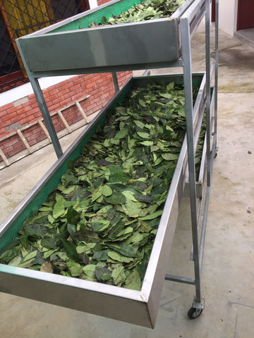 guayusa dried
