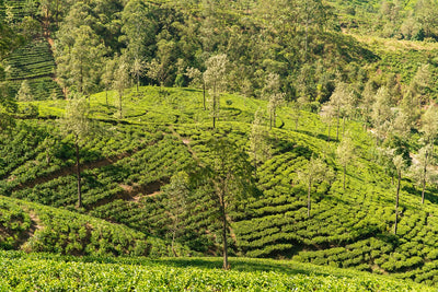 A Guide To Ceylon Tea and Sri Lanka's Tea Plantations