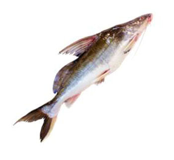 IBCO AYRE FISH WHOLE