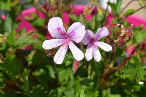 Summer Skincare Essentials for Ultimate Soothing Effects: Rose Geranium