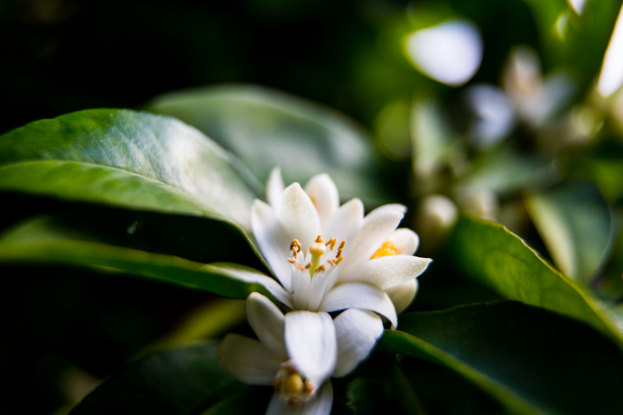 Neroli: The Natural Floral Ingredient to Boost Skin Radiance