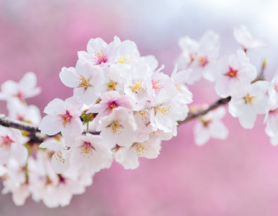 7 Hacks on How to Navigate Through the Sakura Season in Japan