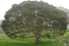 Hawaiian Koa tree with a large top in a misty mountain