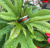 Titanium Ring with Mango Wood and Green Lab Opal - Hawaii Titanium Rings  - 2