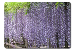 Mouse Pad Japan Garden Nature Purple Flowers Vines - 21.5 x 27 x 0.3cm