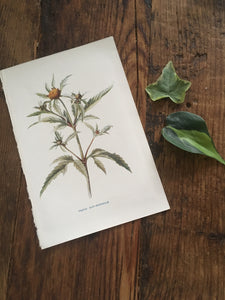 vintage botanical bookplate