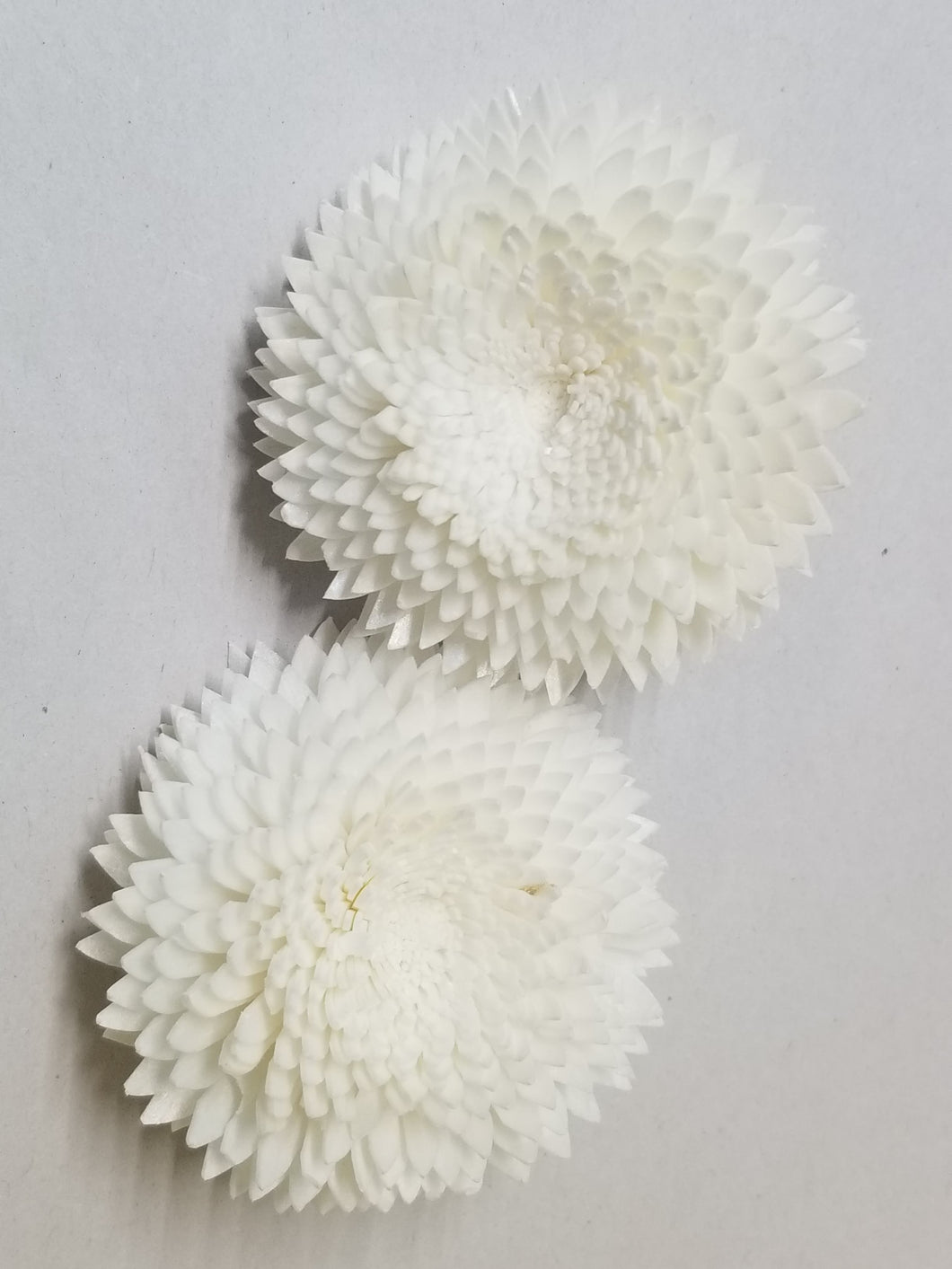 Chrysanthemum  - 2