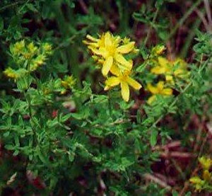 St. John's Wort Oil Organic OUT OF STOCK ETA July/Aug 2020