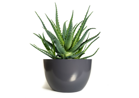 Aloe Vera | Healthy Plants for the Home