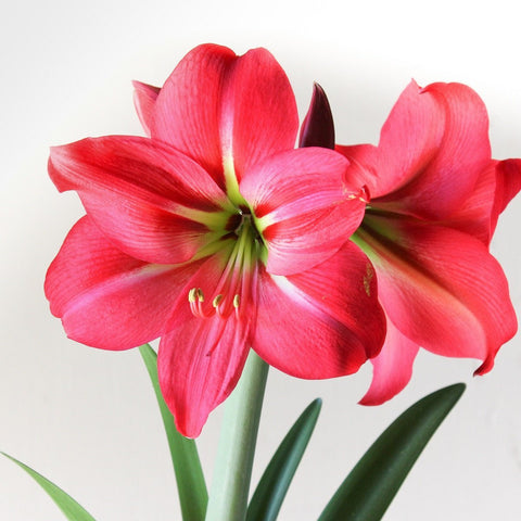 Pink Amaryllis plant which is poisonous to cats