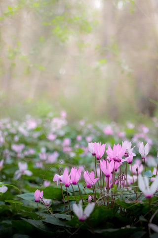 Photo of pink Cyclamen in a field which are poisonous to cats
