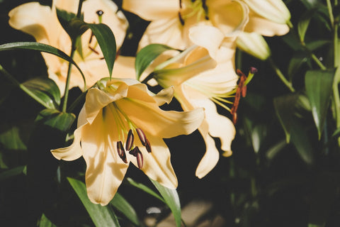 Photo of lilies which are a poisonous plant for cats