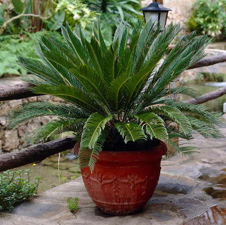 Photo of a potted sago palm which is poisonous to cats
