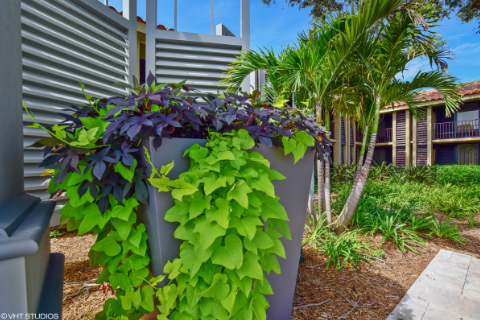The sweet potato vine growing in a modern commercial planter
