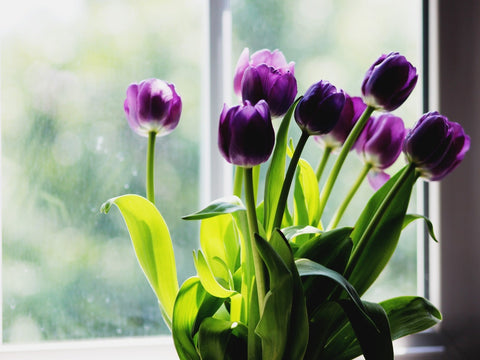 Purple Tulips next to a window which are poisonous plants for cats