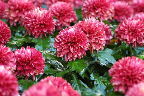 Photo of pink Chrysanthemums which are a poisonous plant for cats.