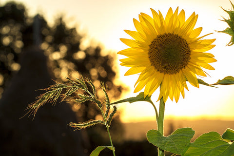 Picture of a sunflower in an open field