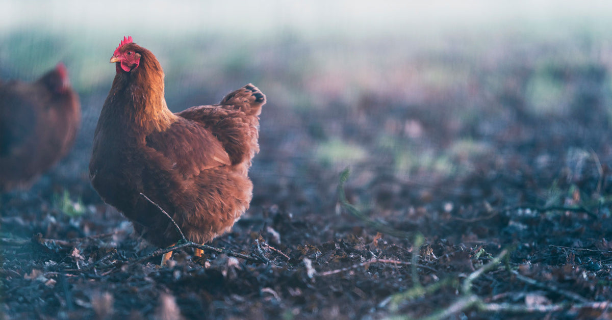 food inflation on chickens