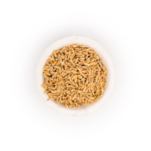 Organic Wheatberry Sprouts