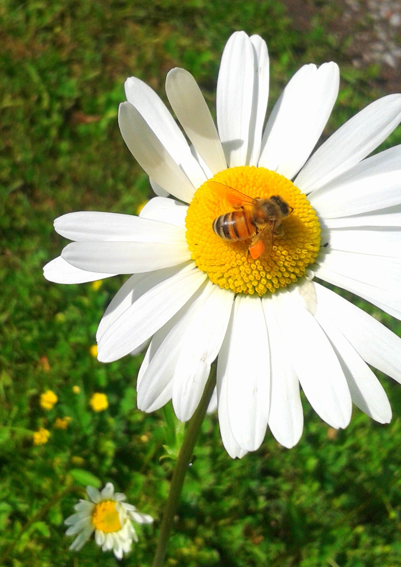 Bee on daisy Beeswax Essentials