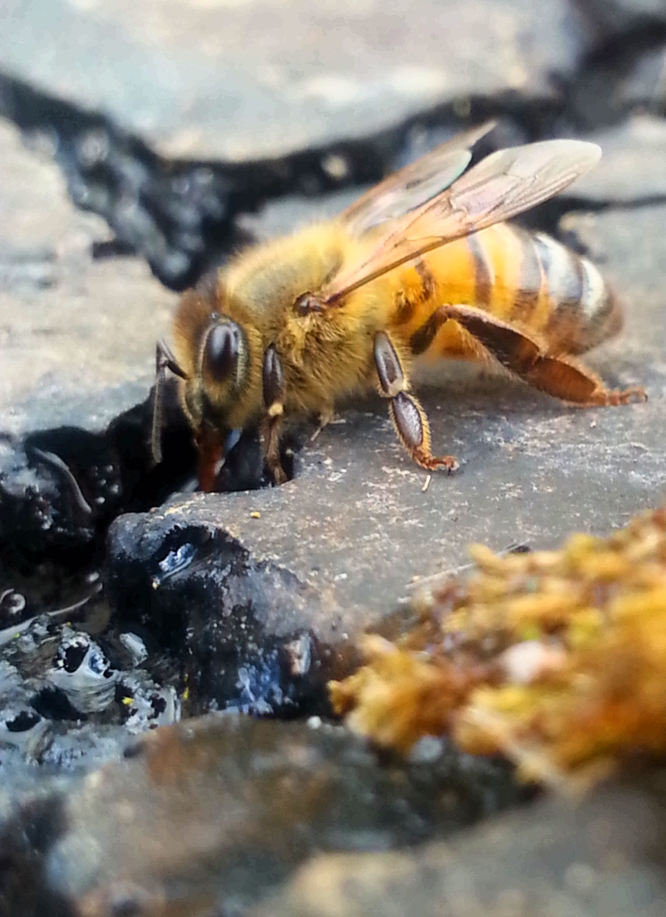 Bee drinking from river Beeswax Essentials