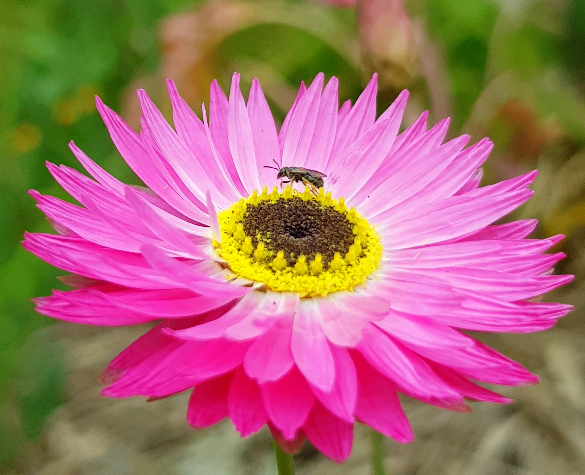 Native bee on paper daisy Beeswax Essentials