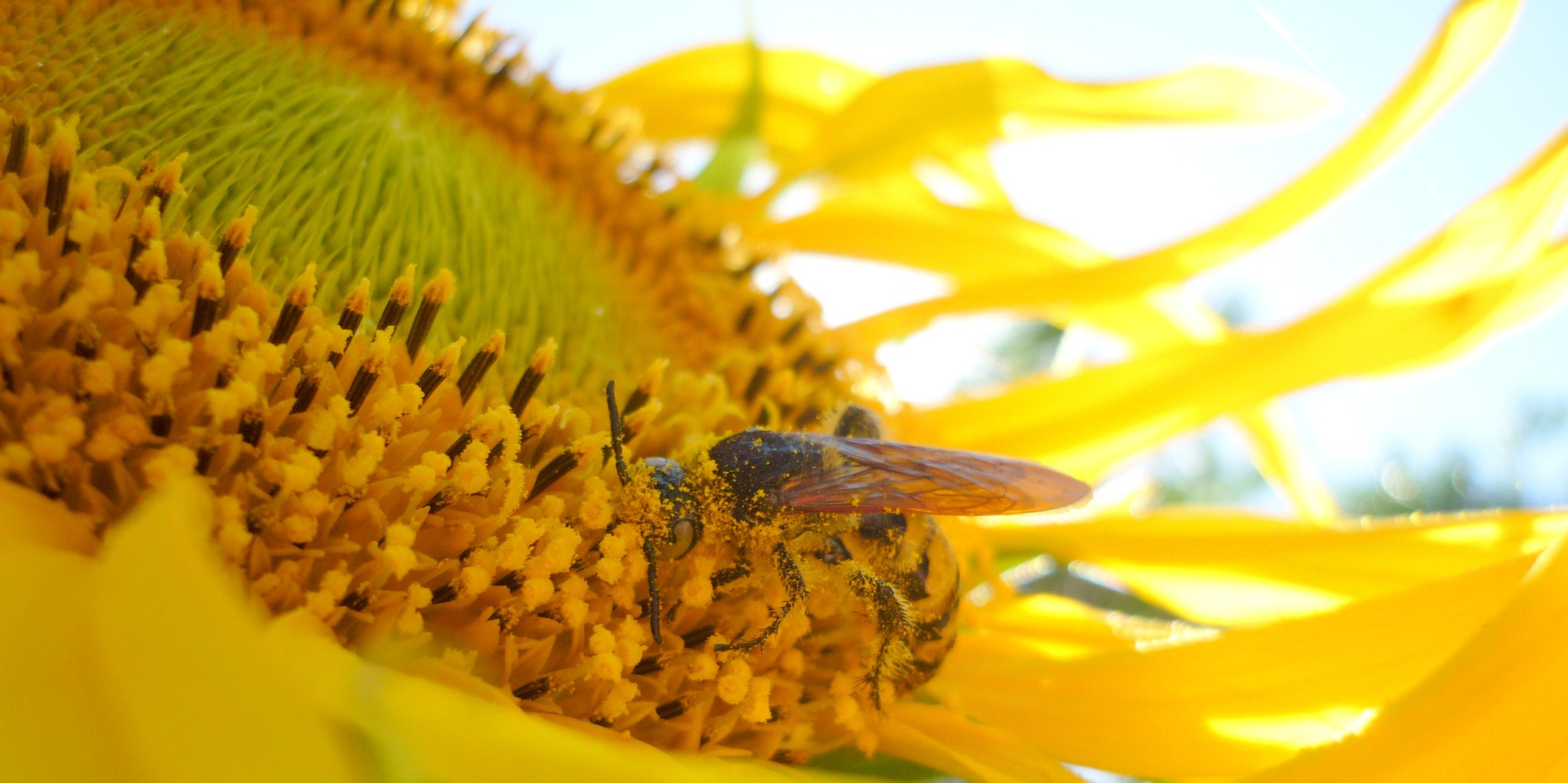 Bee covered in pollen on sunflower Beeswax Essentials